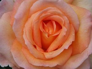 Hamilton Gardens Rose