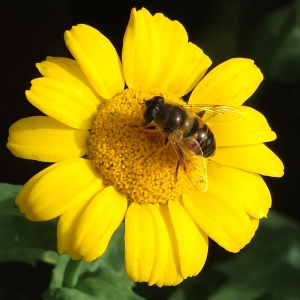 Hoverfly on Paris daisy