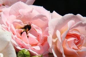Pink roses with a bee