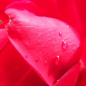 Rain drop on rose