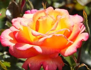 Sheila's Perfume Rose